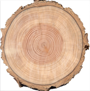 Tree Trunk slice image